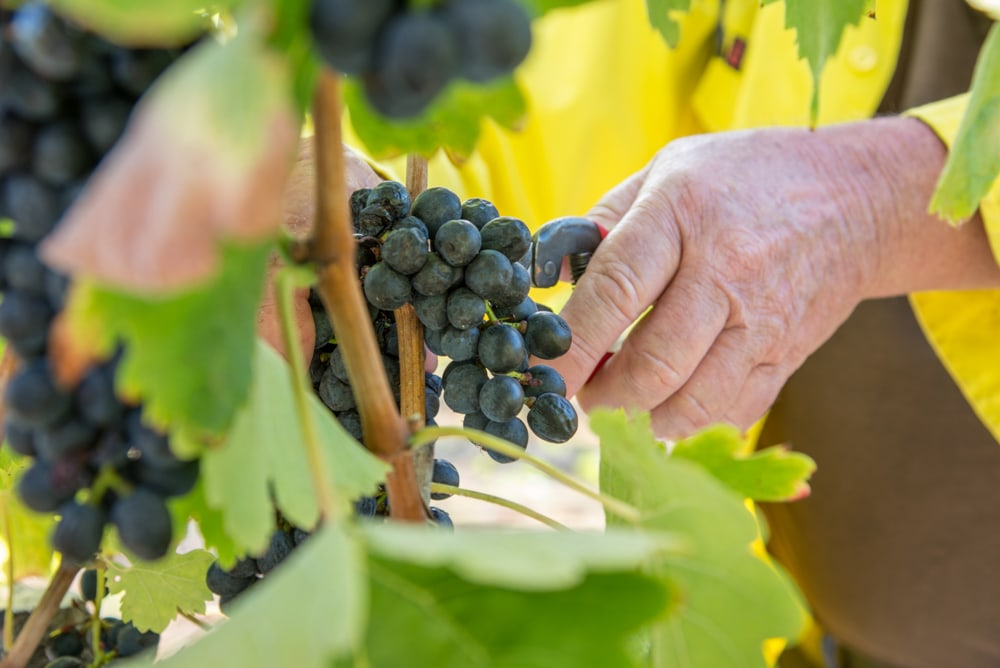 focal_point_photos_commercial_wine_grapes_harvest_photographers_toowoomba_qld_45